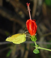 Sleepy Orange butterfly on Turks Cap - Malvaviscus arboreus var. drummondii